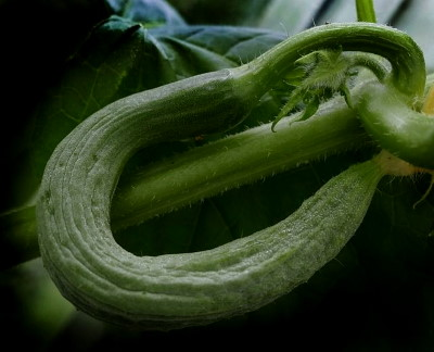 Banán uborka