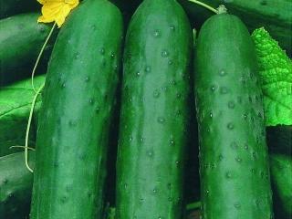 Saláta uborka