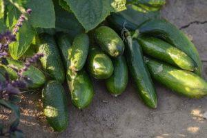 Uborka termesztése kategória