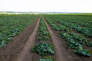 Uborka palánta ültetése