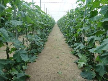 Uborka termesztése szabadföldön