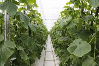 Uborka termesztése támrendszeren